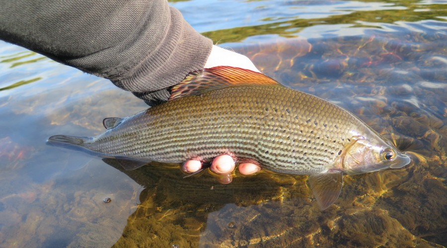 Grayling fishing on the River Eden