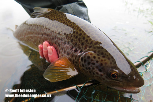A 3lbs 4ozs January Eden brown trout in excellent condition