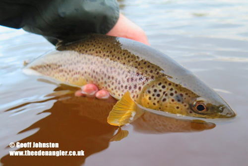 A brown trout in January
