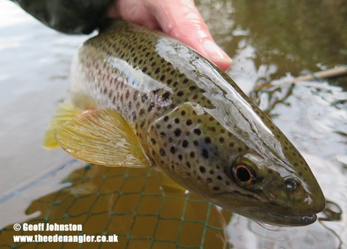 River Eden trout taken on a March Brown pattern