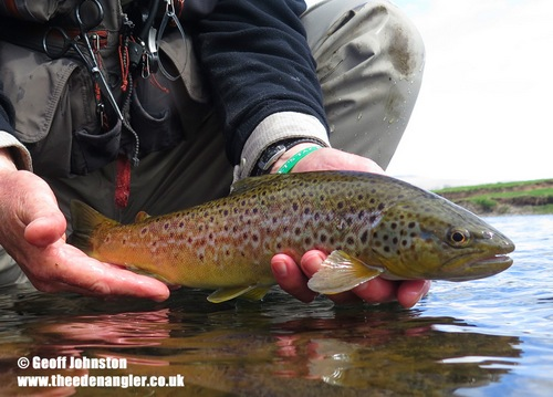 A good Eden trout was feeding on Grannom
