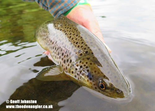 A River Eden Brown Trout in July