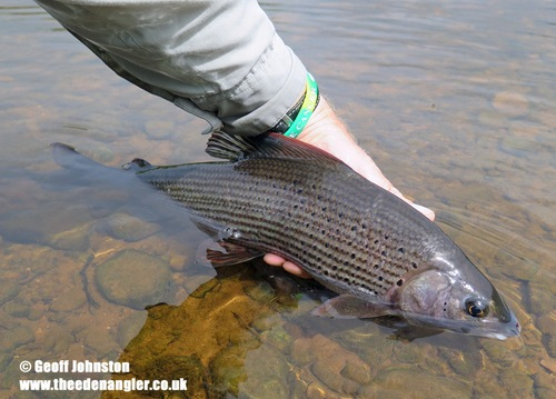 Grayling appeared in numbers through July