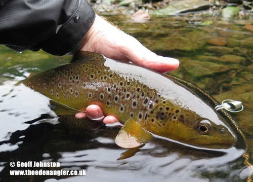 A brown trout from early August 2016