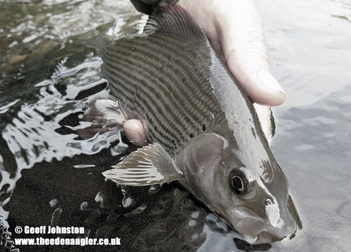 Grayling are enjoying lower water temperatures
