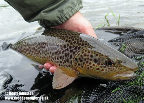 A September Brown Trout
