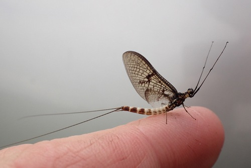 The Mayfly were early this year