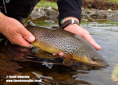 An Eden Brown Trout is returned