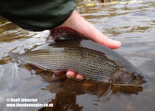 Another November grayling to a 'North country spider'