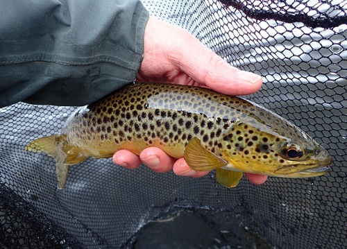 An Ullswater Brown Trout