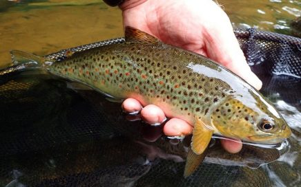 Fish on the midge during 'Flaming June'