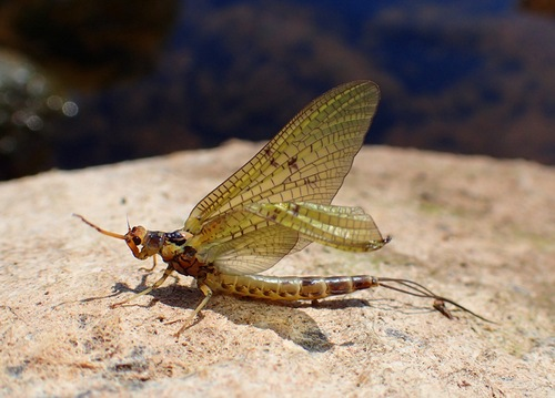 A Mayfly with crumpled wing