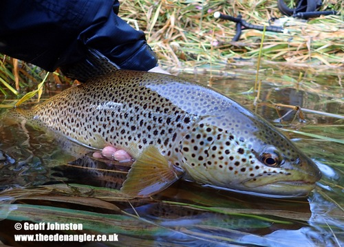 A beautiful Eden trout in August