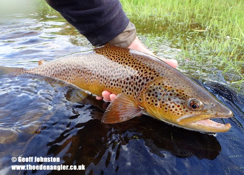 Another beautiful Eden Brown Trout