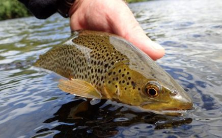 July Brown trout in Eden