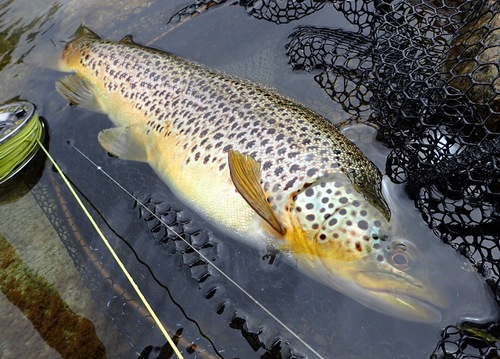 Brown Trout in May