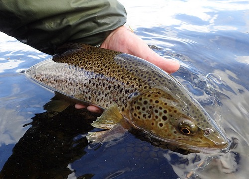 A BWO Dun produced some nice fish on occasions
